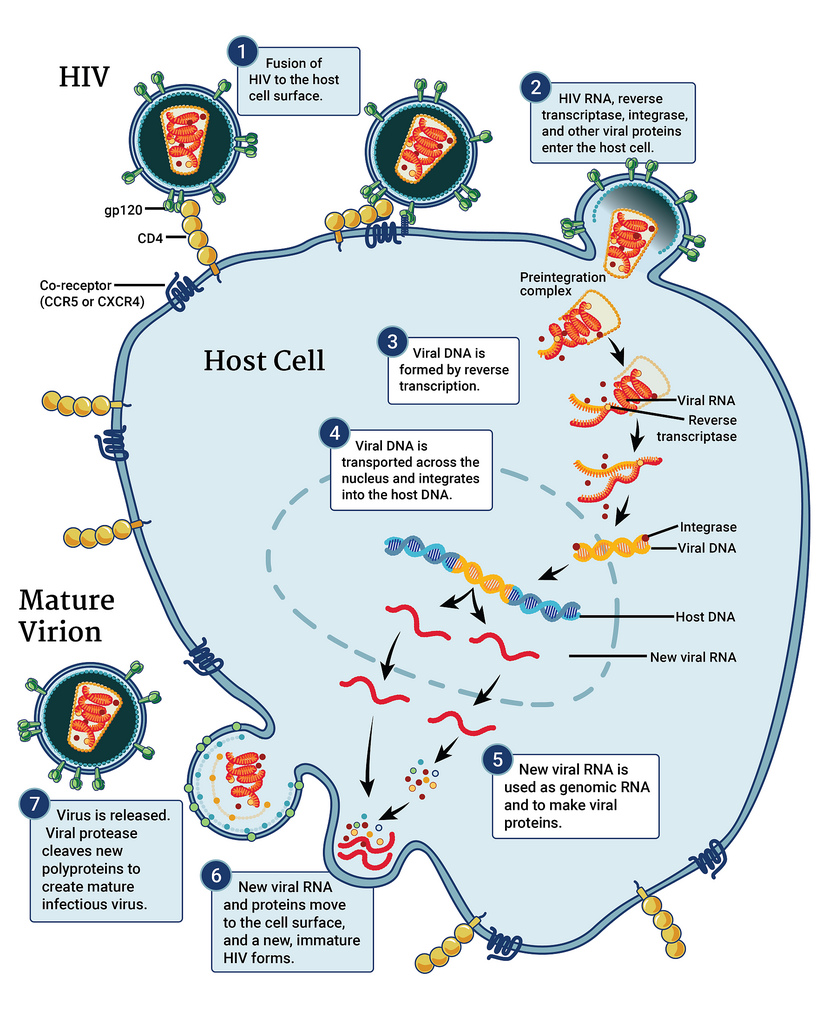 hight resolution of this infographic illustrates the hiv replication cycle which begins when hiv fuses with the surface of the host cell a capsid containing the virus s