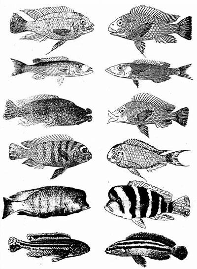 Morphological Species