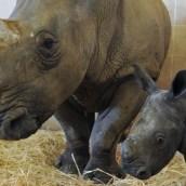 african-rhino mama baby