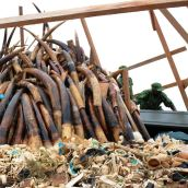 poaching in keya. what a waste 850 elephants