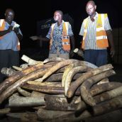 poaching in keya. what a waste ivory pile