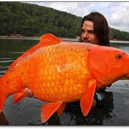 giant goldfish found in lake