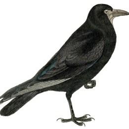 Crow Halloween GraphicsFairy