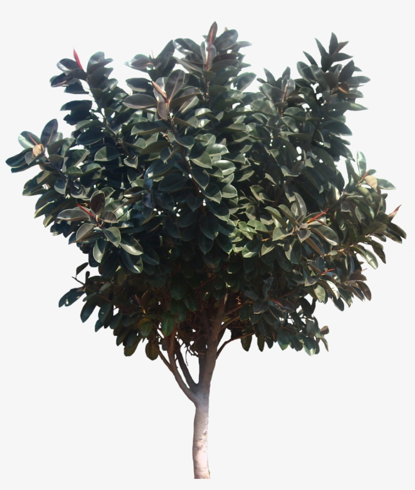 hight resolution of about 6 m southern magnolia tree png
