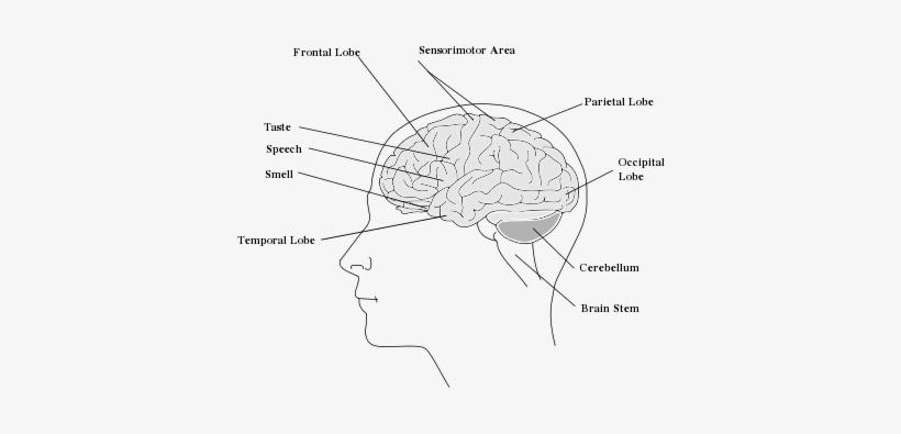 easy brain diagram samsung dlp tv parts heypik support the human edit transparent png