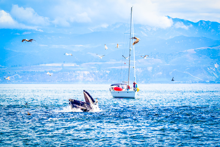 Santa Barbara Whales