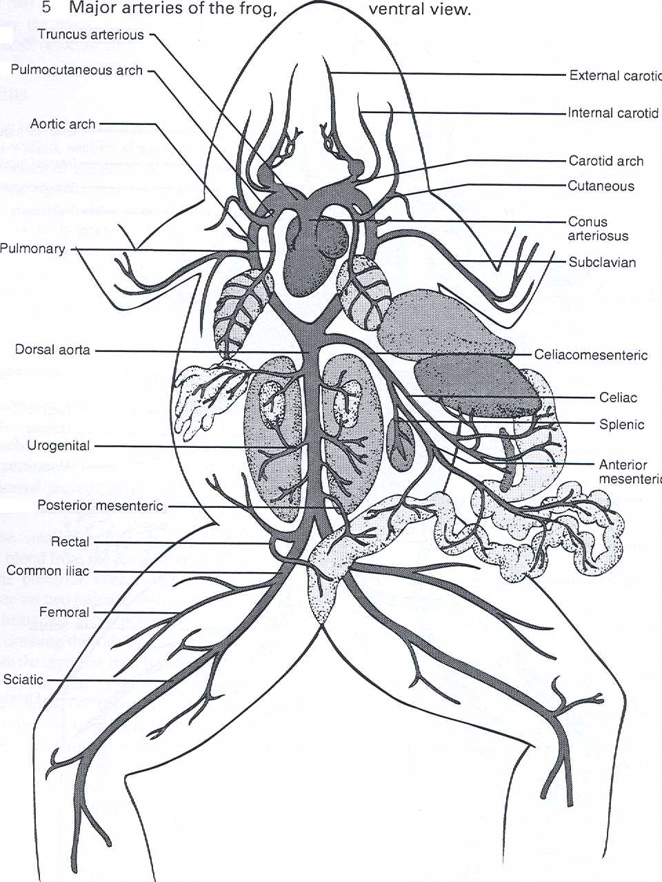 Free coloring pages of frog digestive system