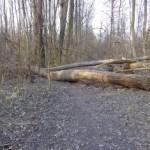 Umgestürzte Baumriesen