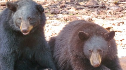 black-and-brown-bears