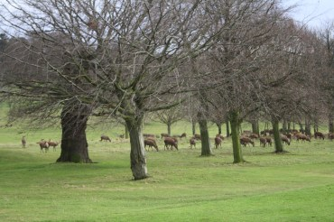 Deer at Wollaton