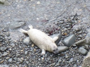 Seal pup at St Davids Peninsula