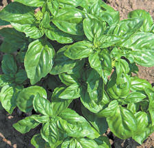 Culinary Herb Basil Sweet