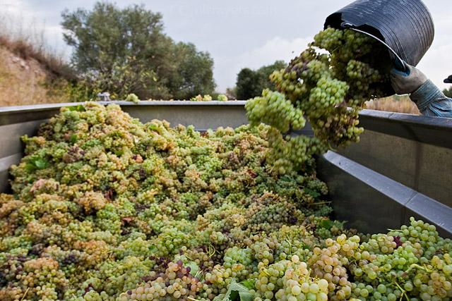 Grape Harvest in the Penedès, Spain