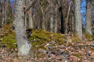 spring-forest-with-green-moss-in-the-vosges-mountains