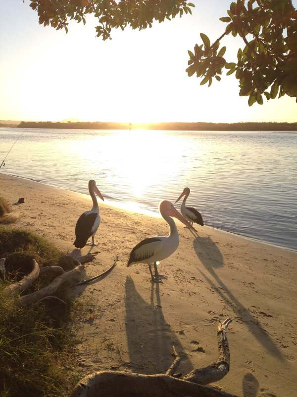 Pelicans at sunset in Noosa
