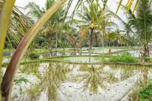 Rice fields by Sandat Glamping Resort, Ubud.