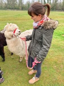 Meeting the first alpaca I was walking at Hensting Alpacas