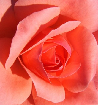 Rose, freeimages.com, 2015