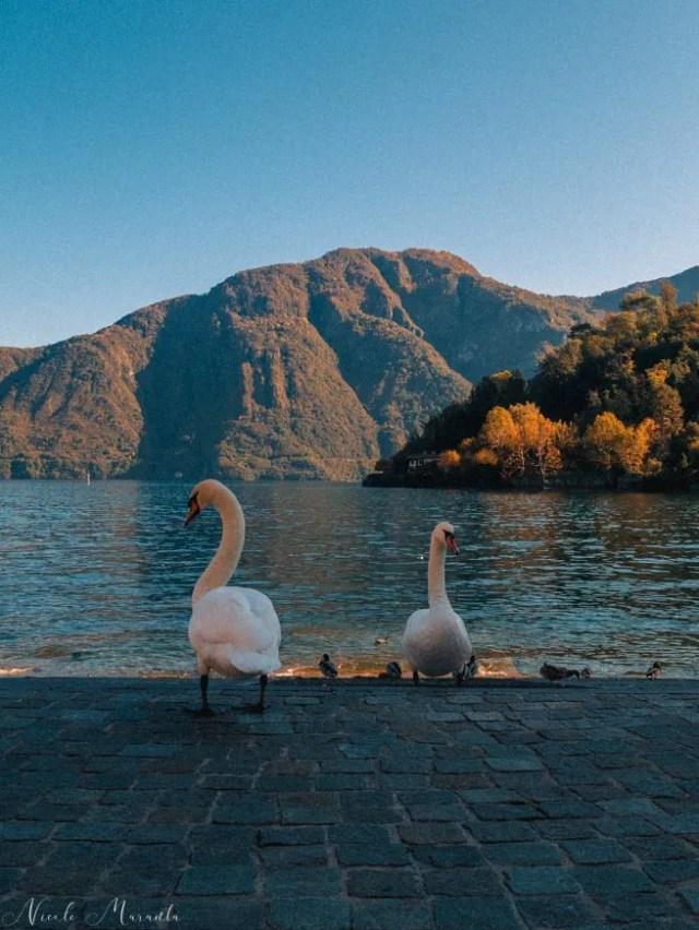Cigni a Lenno sul lago di Como - Nicole Maranta