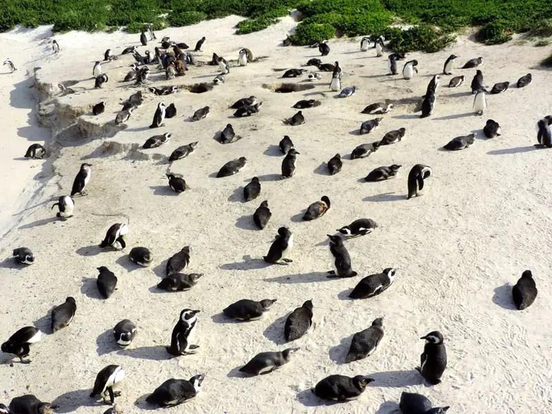een-dag-in-kaapstad-pinguïn-kolonie-Boulders-Beach