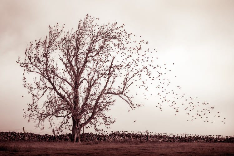 The starlings and the ash - Paul Howell