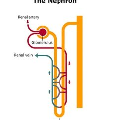 Kidney Nephron Structure Diagram Wiring For 3 Gang 2 Way Light Switch Your Kidneys How They Work Niddk Drawing Of A Showing That Blood Vessel From The Renal Artery Leads To