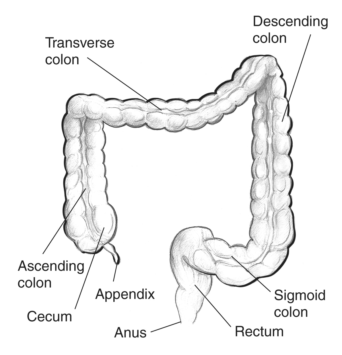 Large Intestine With Labels For The Appendix Cecum