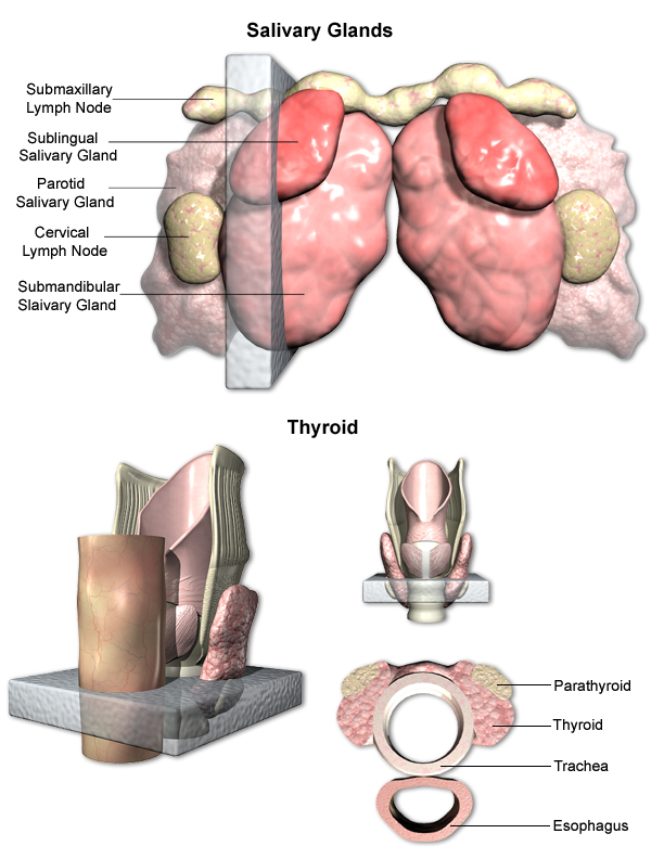 health tongue diagram eaton iec motor starter wiring trachea and thyroid