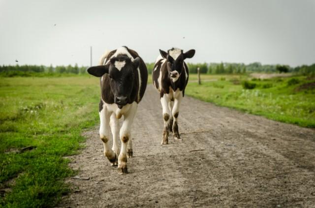 Karvės, priešingai nei pas mus, vaikšto ir ganosi laisvai. Visur