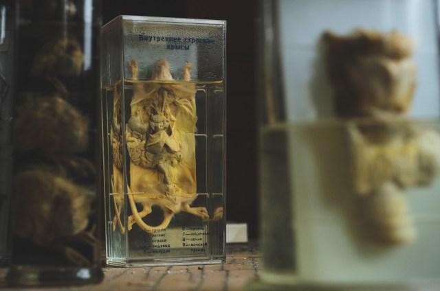 Žiurkės vidaus organų struktūra