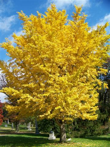 Ginkgo Autumn Gold Shade Trees Trees Plants