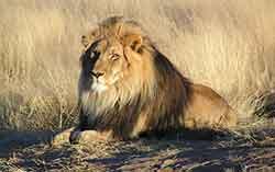 Leeuw als bescherming bij je vragen1 Oefening voor het beschermen van je aura energetische bescherming