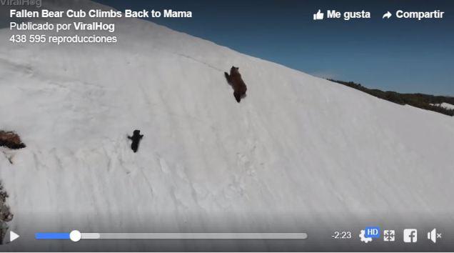 Instantánea del pequeño oso que intenta llegar donde está su mamá