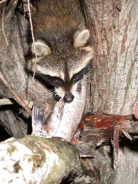 The Addiction of Coon Hunting