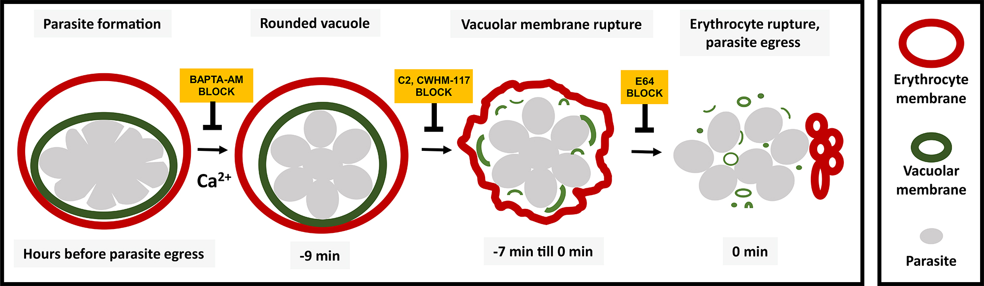 hight resolution of diagram showing the sequence of events involved in rupture of the vacuole and host cell membrane