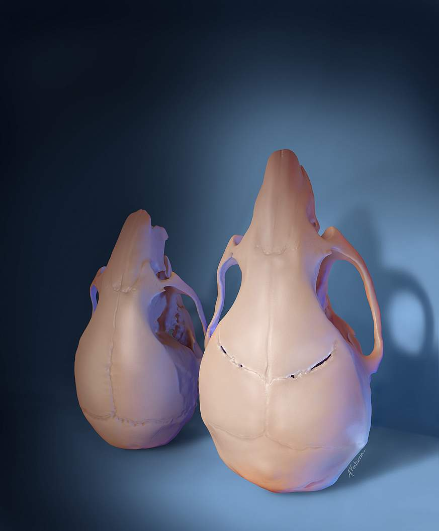 D rendering of two mouse skulls