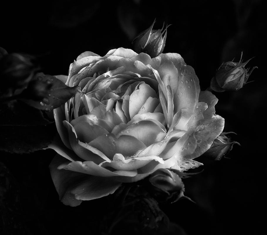 (2 nd) Advanced~George Lea~English Rose