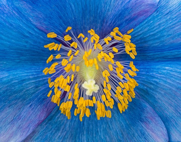 Advanced~Jim Turner~Blue Poppy