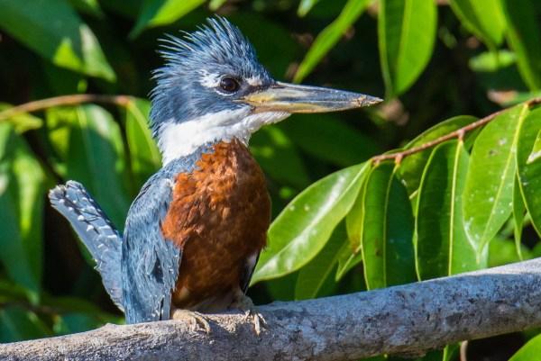 Advanced~Suzanne_Dater~Brazilian_Blue_Kingfisher
