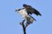 CO2~2~Novice~Karen~Goldman~Osprey_Honeymoon_Island_Fl~67