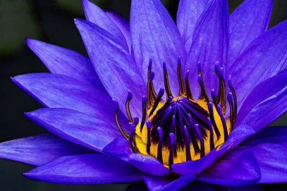 """""""Night Blooming Water Lily"""" by Jim Turner"""