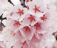 2021年二本松の桜の名所・開花情報