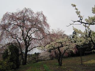 みしま桜の里の写真2