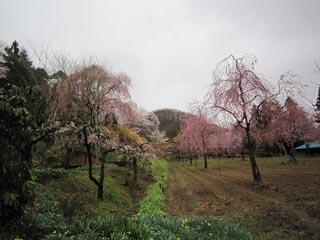 みしま桜の里の写真3