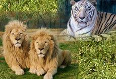 東北サファリパークの虎とライオンの写真