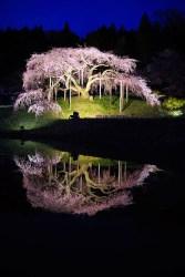 2020桜_入選_水面に写す桜紅