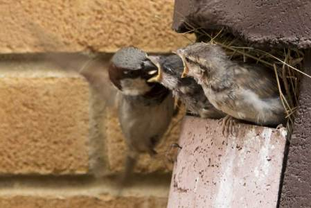 Baby sparrows being fed by a parent