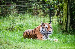 Tiger am relaxen