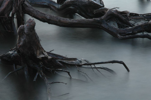 Raised roots of tree rising from misty water.