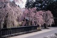 まもなくシダレザクラの見ごろを迎える角館武家屋敷(秋田県仙北市)